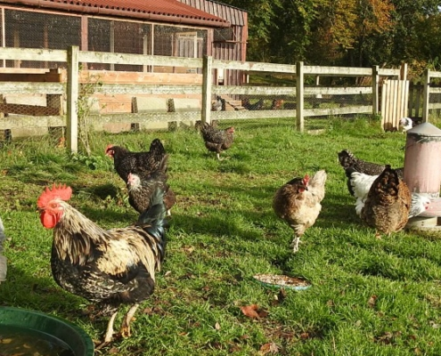 The Invercassley cottage Chickens