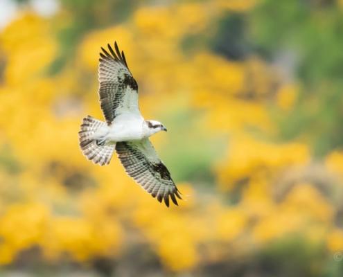 Osprey in flight over gorse